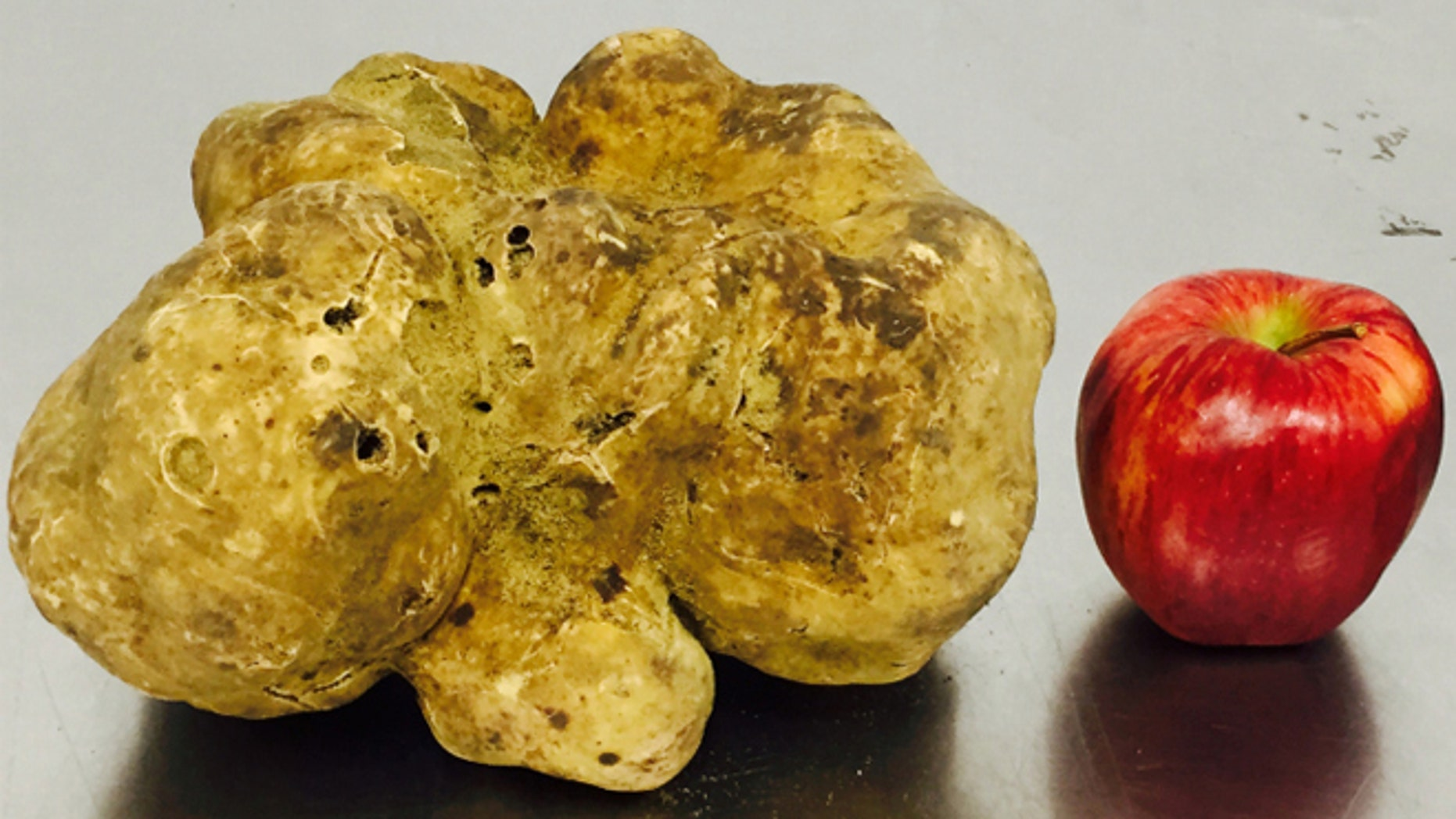 The record-setting 4.16-pound white truffle was found last week in Umbria, Italy and is scheduled to go on the auction block in New York on Saturday, December 6.
