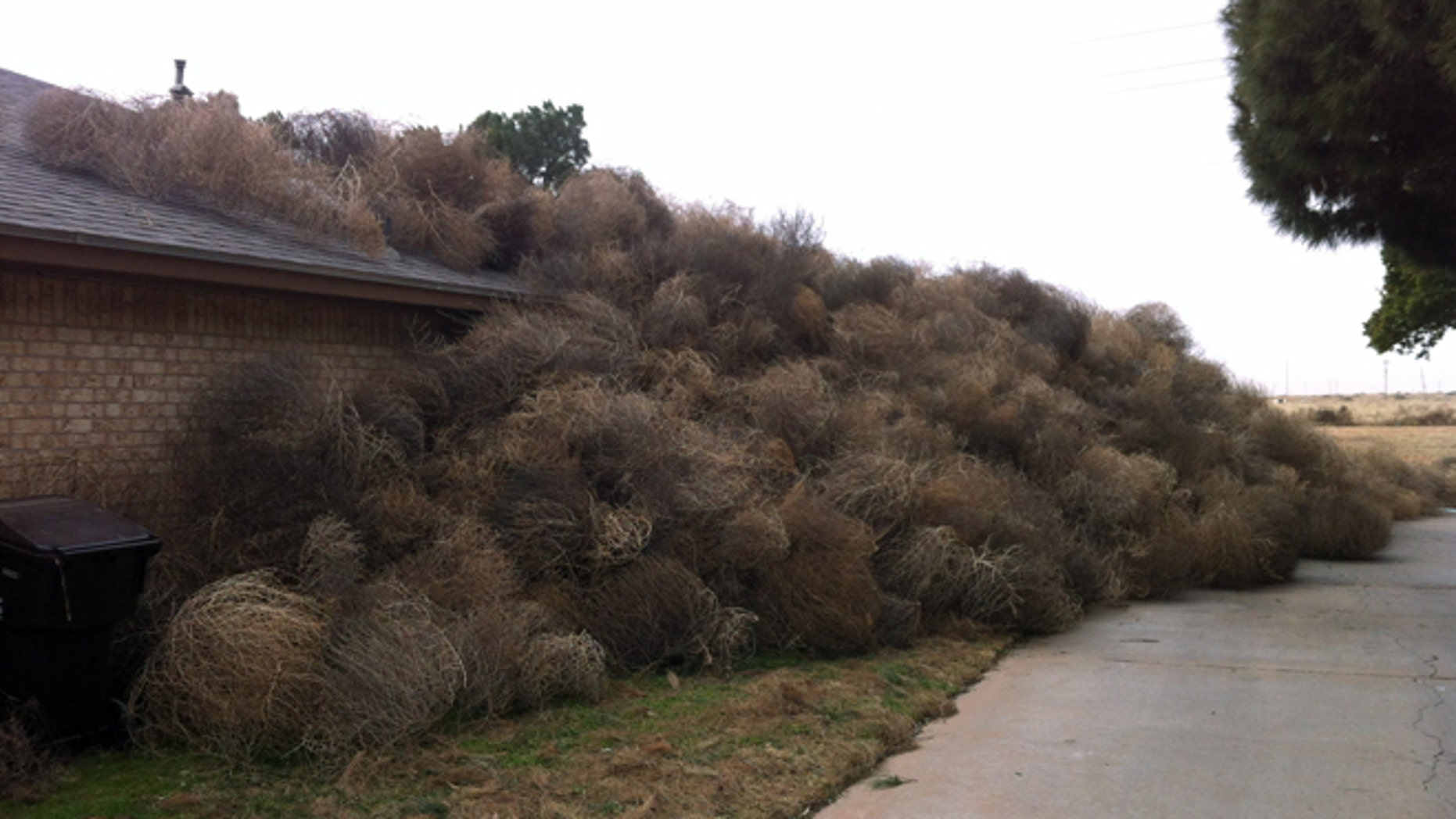 This photo provided by Josh Pitman shows the side of Pitmans' home in Midland, Texas obscured by tumbleweeds. Winds in excess of 60 mph that accompanied Mondays blizzard pushed hundreds of tumbleweeds against the Midland home. Pitman says he recently tore down a fence that would have protected his home from the rambling weeds.