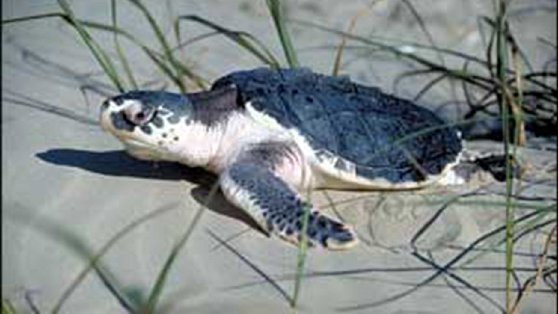 The Kemp's Ridley sea turtle is the most endangered of all sea turtles, according to the World Wildlife Fund.