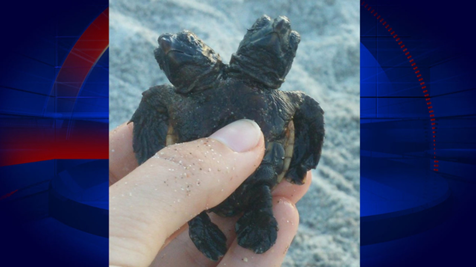 A marine research group found a turtle with two heads in Florida last week.