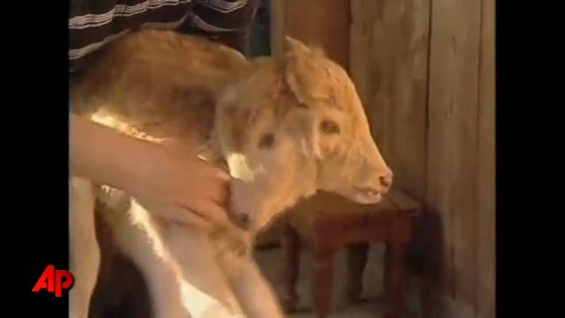Georgian television on Friday broadcast pictures of a two-headed calf reportedly born in the village of Abedad.