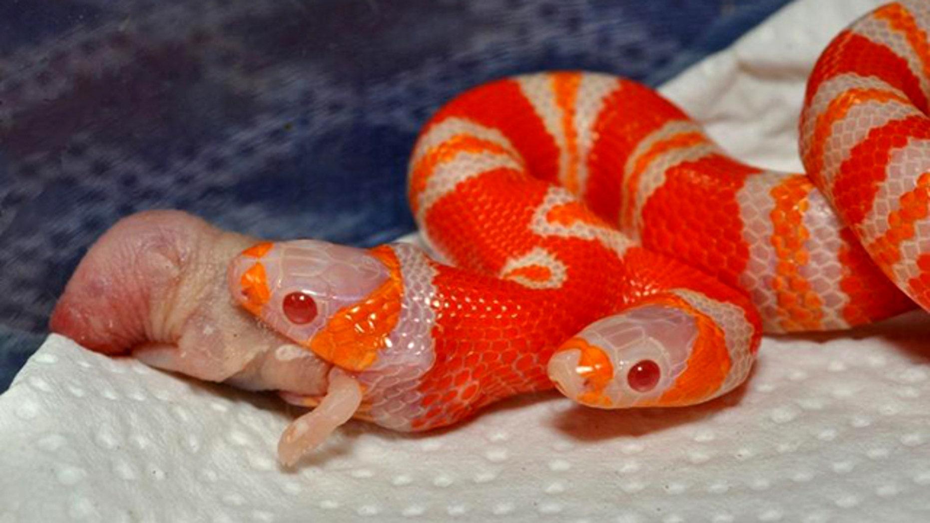 "A rare ""bicephalic"" (or two-headed) albino Honduran milk snake, or Lampropeltis triangulum hondurensis, seen devouring a baby mouse."