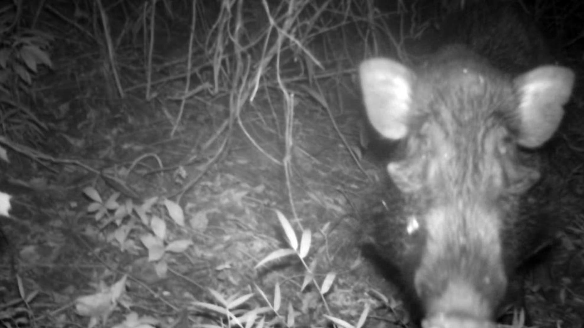 A Javan warty pig, a species dubbed the 'world's ugliest pig,' has been caught on camera in the wild for the first time (Act for Wildlife/Chester Zoo)