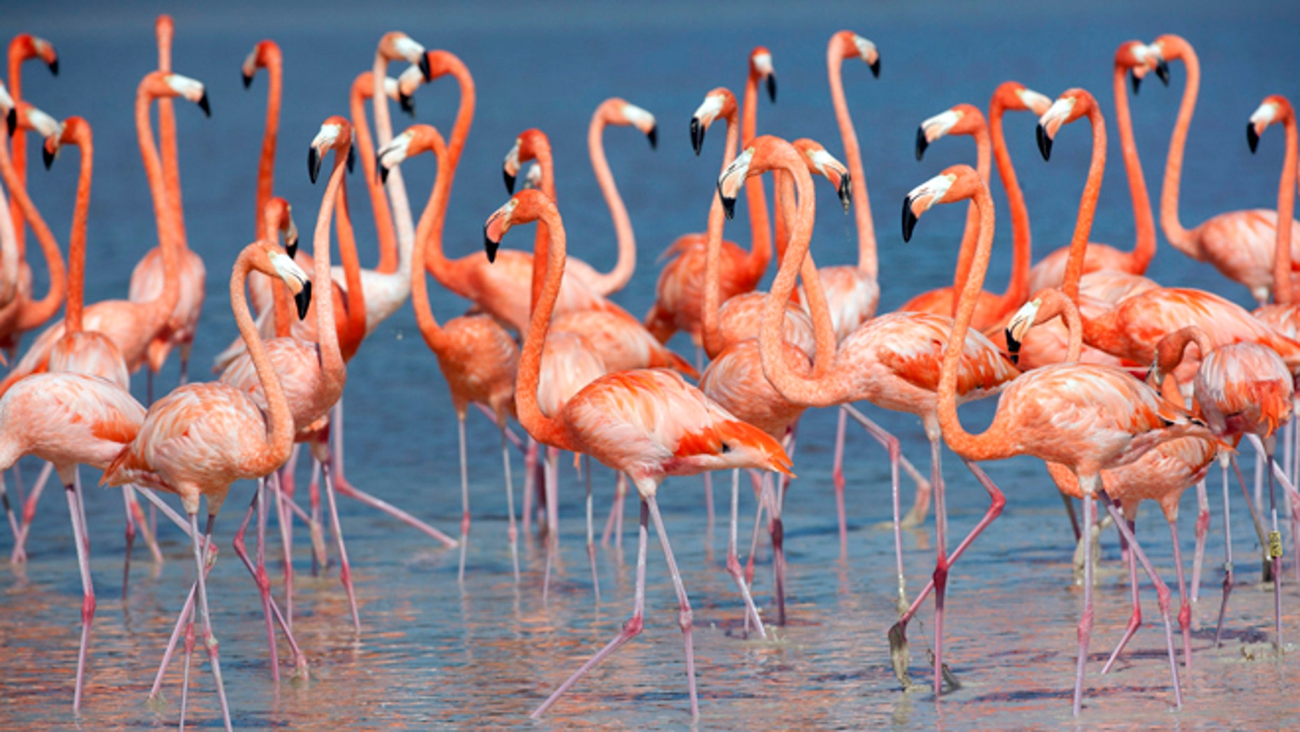 Flamingos stand in the waters of a wetland reserve in Celestun in Mexico's Yucatan Peninsula December 6, 2011. With the world's population of wild flamingos under threat from overdevelopment and illegal trade on the black market, the wetland reserve is thriving with thousands of the pink feathered creatures in search of an ideal winter habitat. According to the Caribbean Flamingo Conservation Program, the estimated 45,000 flamingos that call Mexico's Yucatan state home are an integral part of the travelling bird's regional metapopulation that stretches as far as the Caribbean islands. Picture taken December 6, 2011     REUTERS/Victor Ruiz Garcia (MEXICO - Tags: ENVIRONMENT ANIMALS TPX IMAGES OF THE DAY) - RTR2V26W