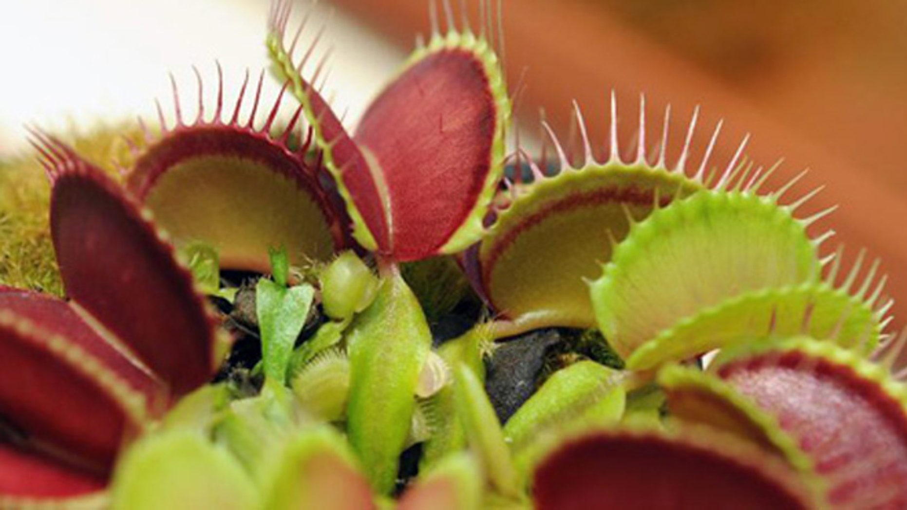 A venus fly trap plant.