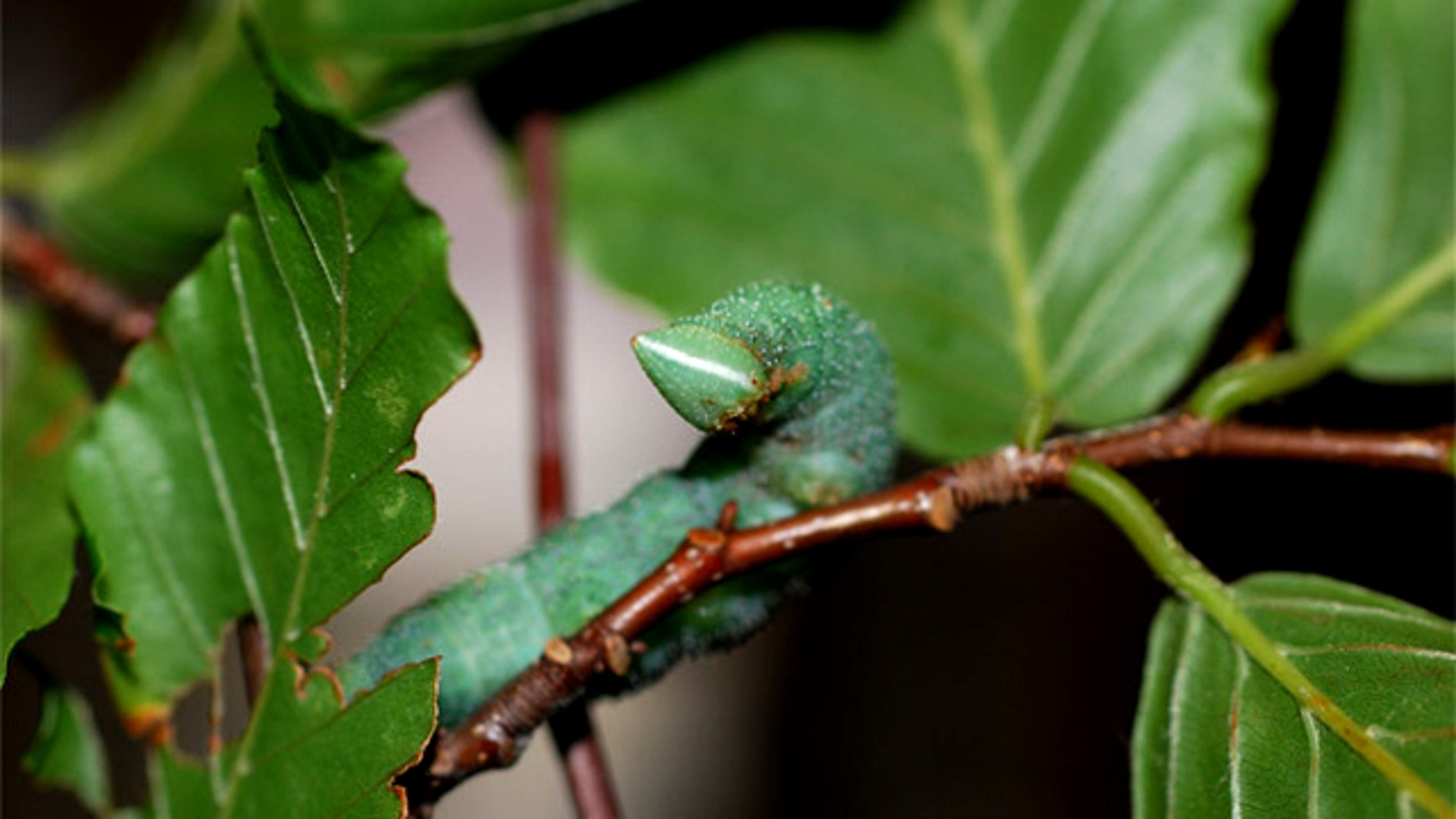 The walnut sphinx caterpillar, a type of moth larva, can whistle out holes in its side, noises that can fend off attacking birds.