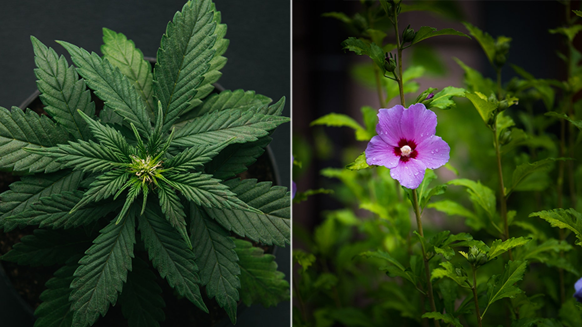 A couple in Pennsylvania claims they were handcuffed as police ransacked their home and claimed they found marijuana, which was really hibiscus plants.