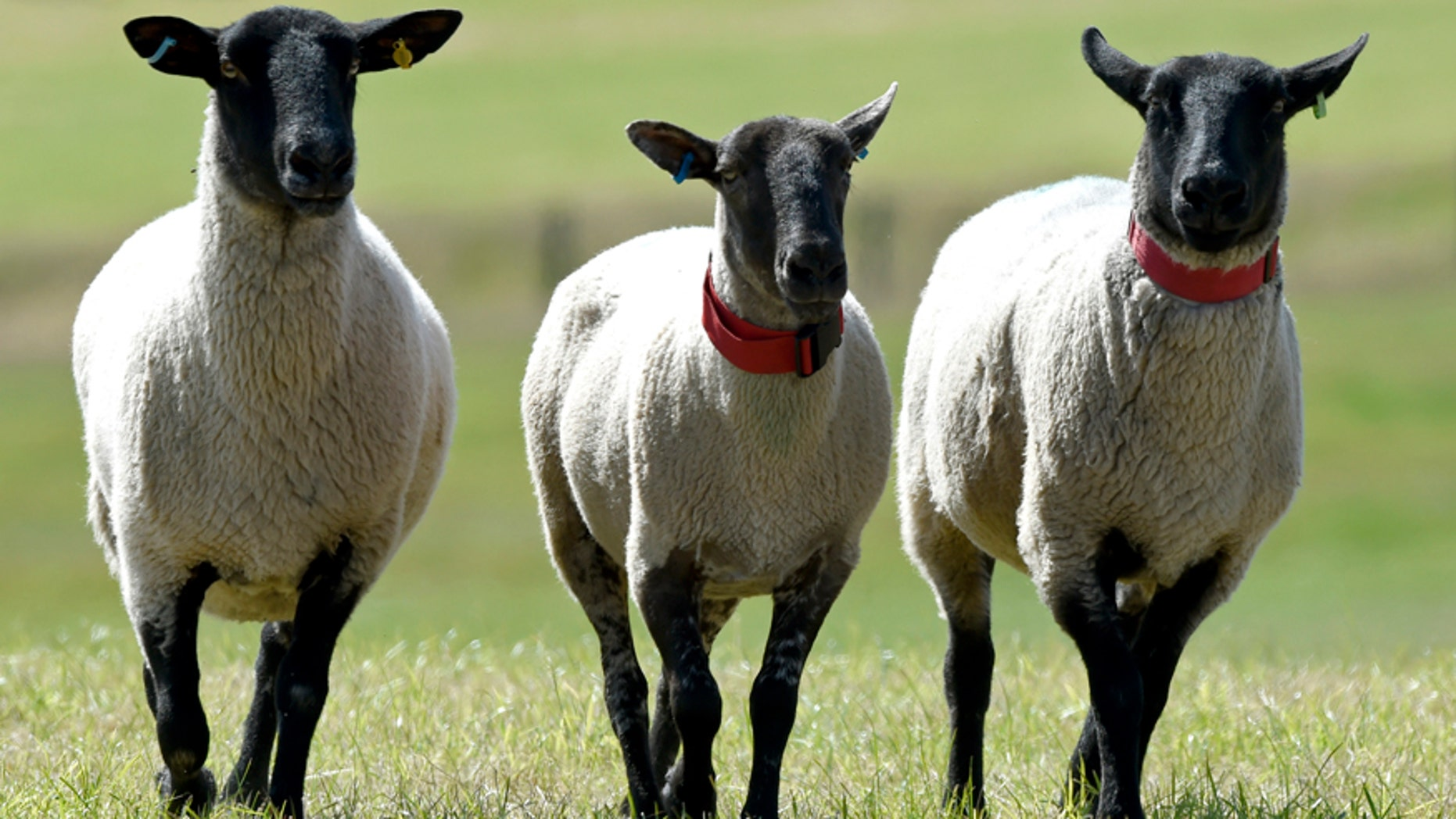 July 31, 2015: Suffolk cross sheep wear red collars at the 2015 Welsh National Sheep Dog Trials at Llanvetherine in Wales.