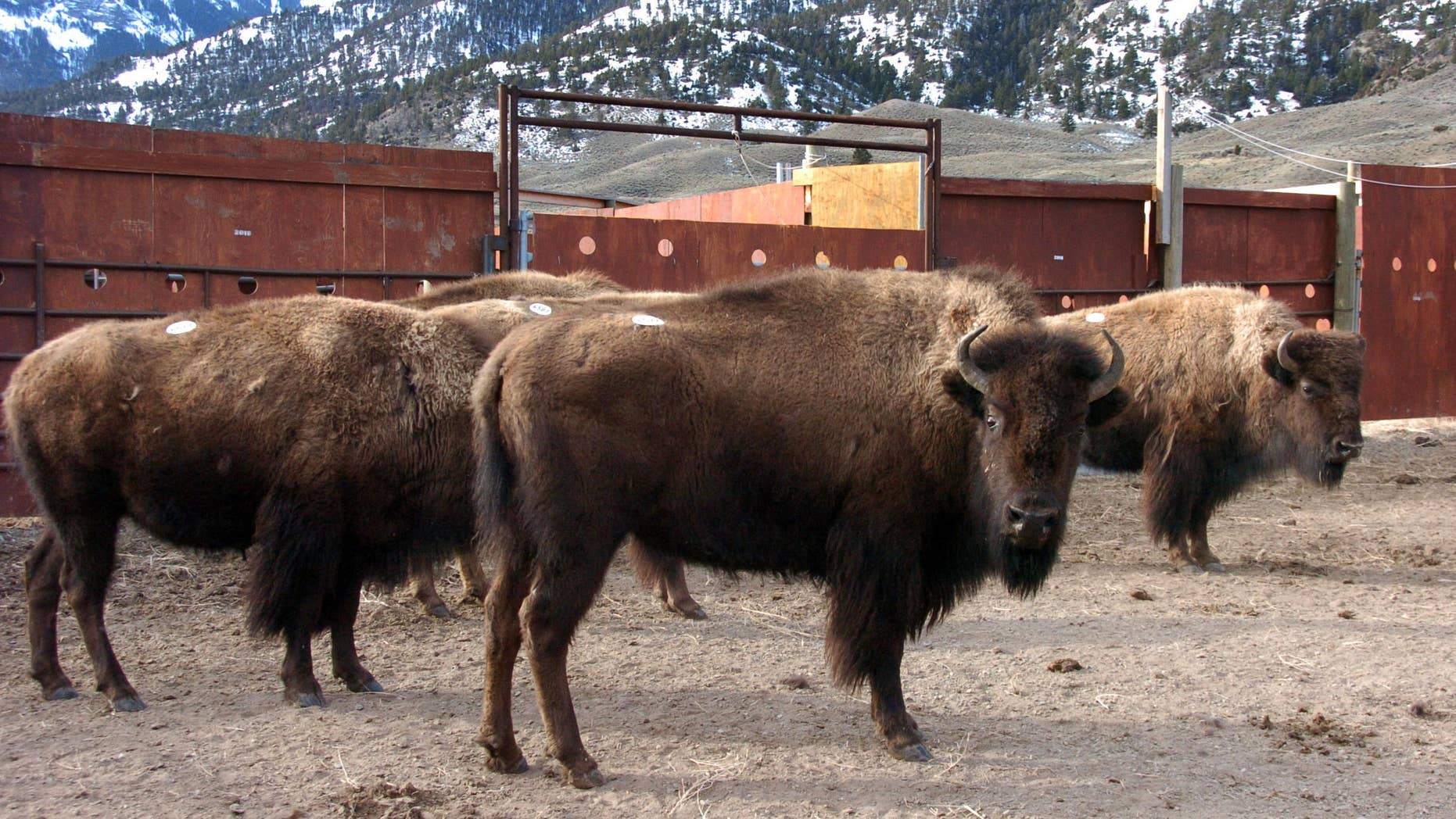 A group of Yellowstone National Park bison await shipment to slaughter inside a holding pen along the park.