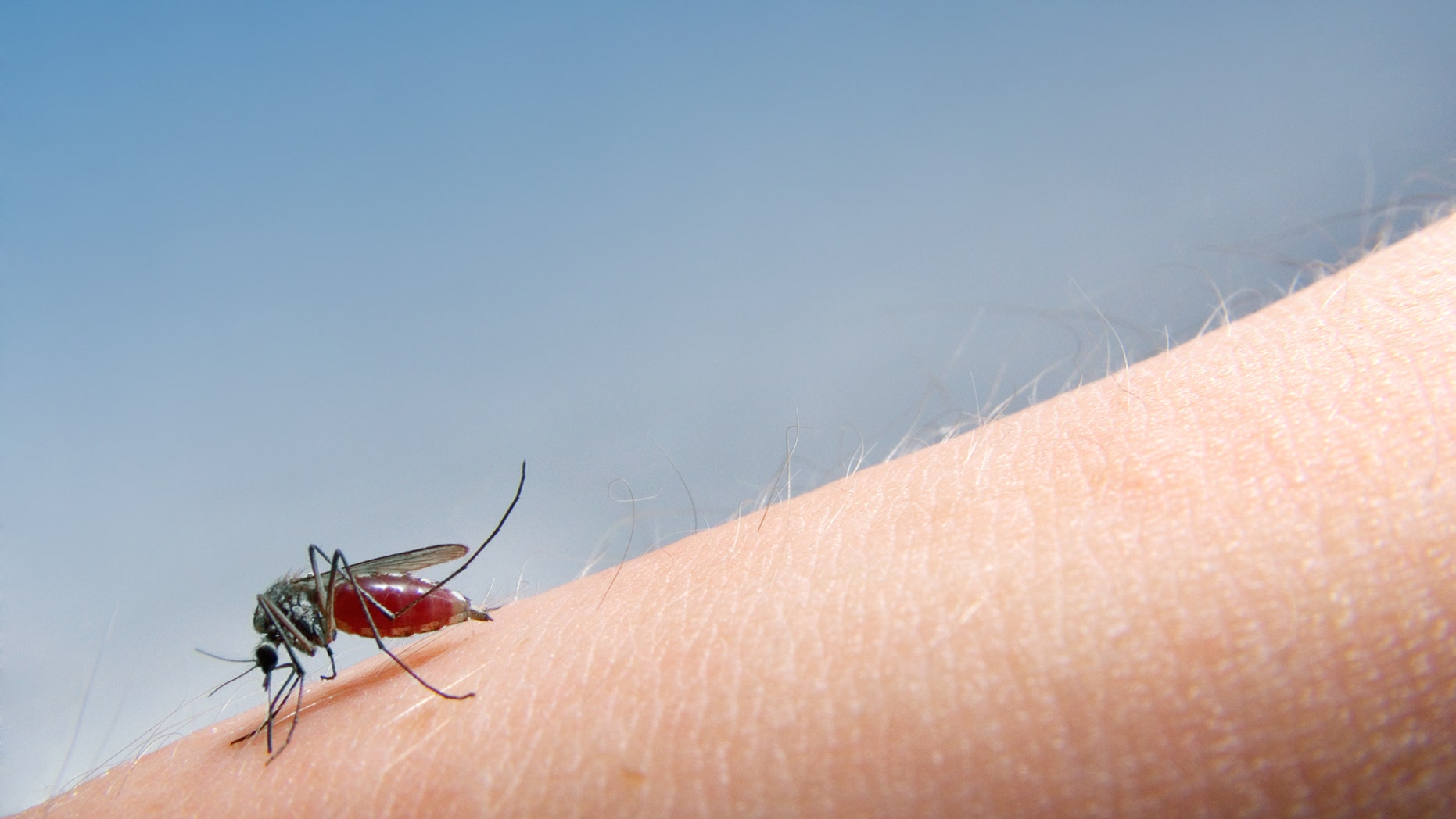 mosquito sucking blood.