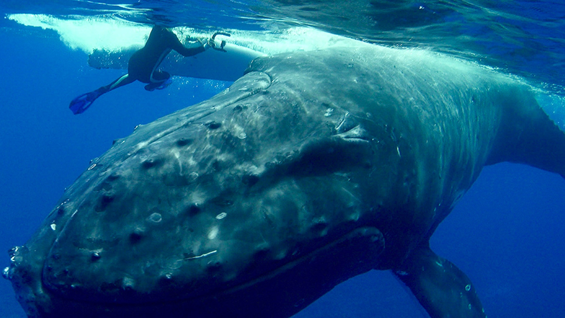The moment a huge humpback whale pushed Nan Hauser around in the water, protecting her from a shark.