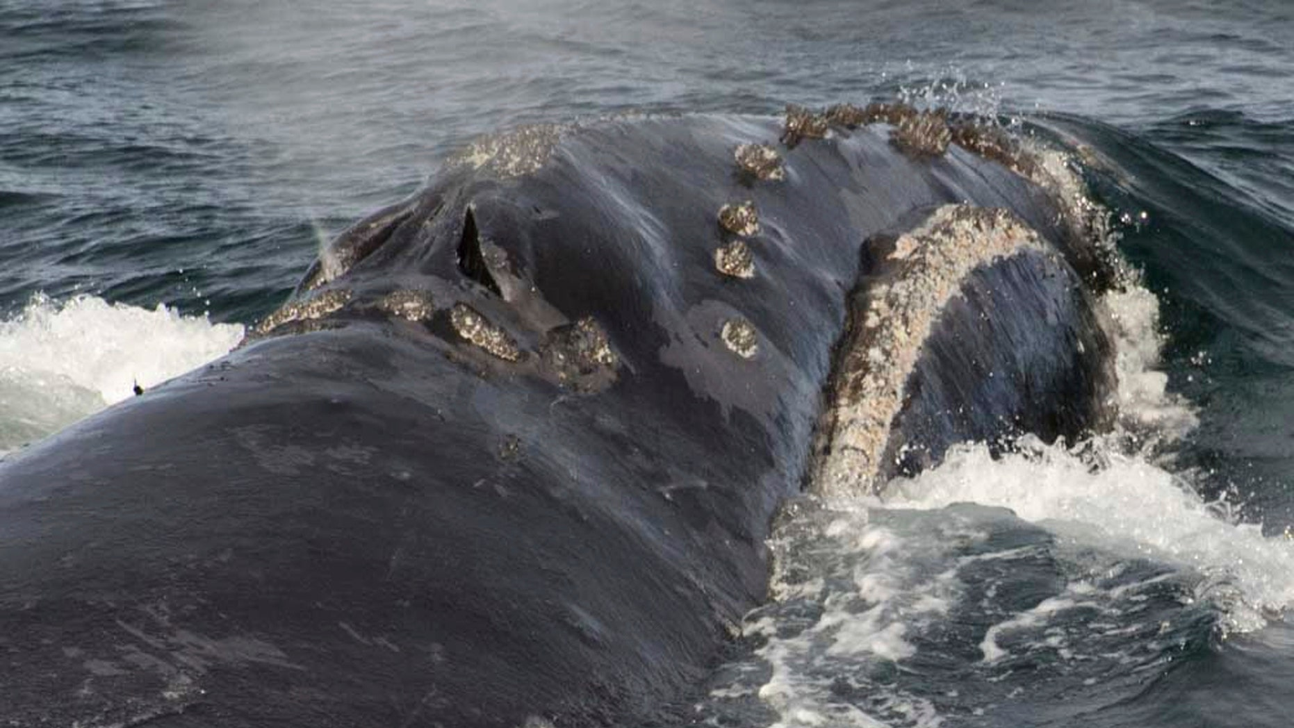 In this Sunday, Aug. 6, 2017 photo provided by NOAA Fisheries a North Pacific right whale swims in the Bering Sea west of Bristol Bay. Jessica Crance, a research biologist with the National Oceanic and Atmospheric Administration, was able to use acoustic equipment to find and photograph two of the extremely endangered whales and obtain a biopsy sample from one. NOAA estimates only 30 to 50 eastern stock North Pacific right whales still remain. (NOAA Fisheries via AP)
