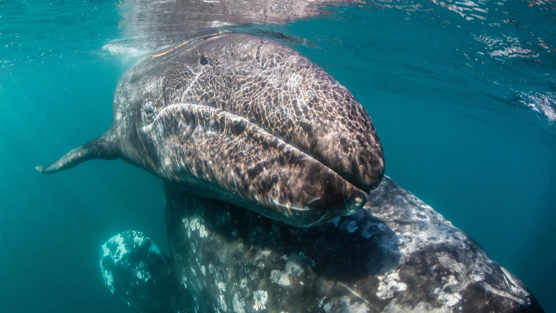 Pliny the Elder wrote in the first century A.D. about gray whale (Eschrichtius robustus) mothers and calves, like these here, getting attacked by killer whales near the Strait of Gibraltar. Now scientists believe him. Credit: robertharding/Alamy