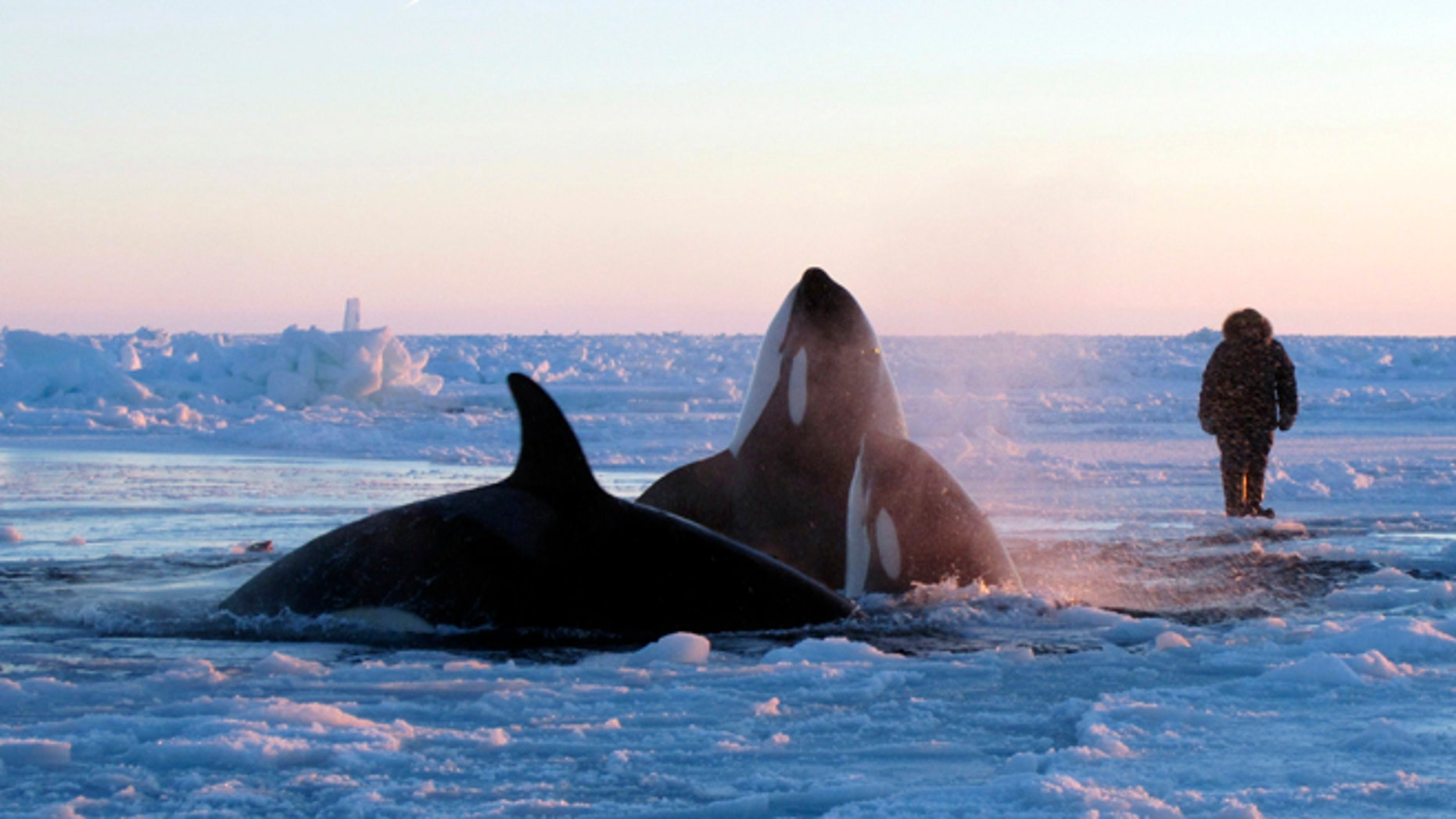 Jan. 8, 2013: In this photo provided by Marina Lacasse, killer whales surface through a small hole in the ice near Inukjuak, in Northern Quebec.