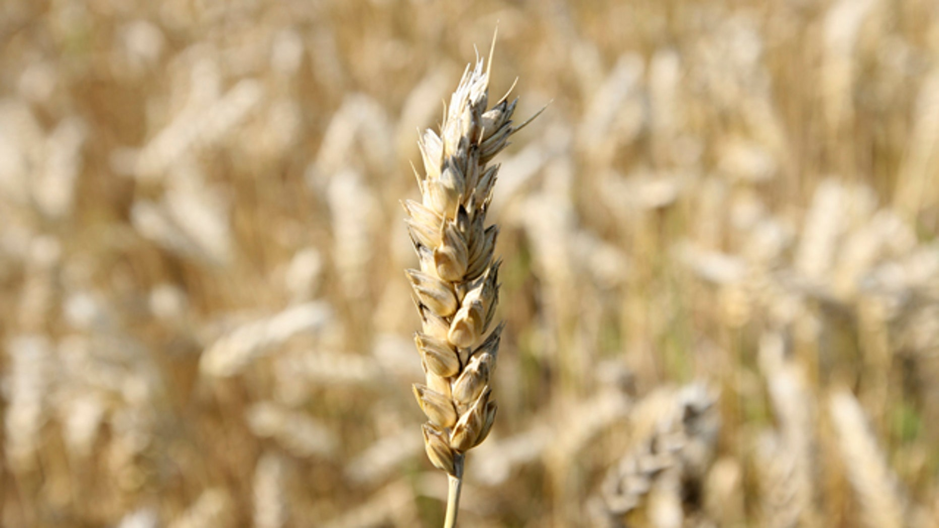 A close up view of a wheat crop, in a field in Acomb, northeast England, Friday, Aug. 27, 2010. British scientists have decoded the genetic sequence of wheat, one of the world's oldest and most important crops, a development they hope could help breed better strains of the global food staple.