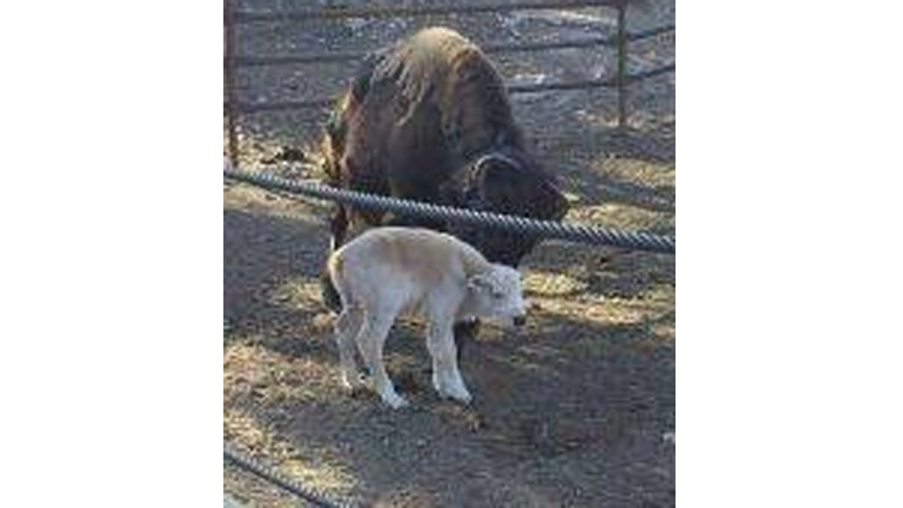 A rare white buffalo was born and seen by some as a positive sign for an area near Colorado Springs devastated by wildfires.