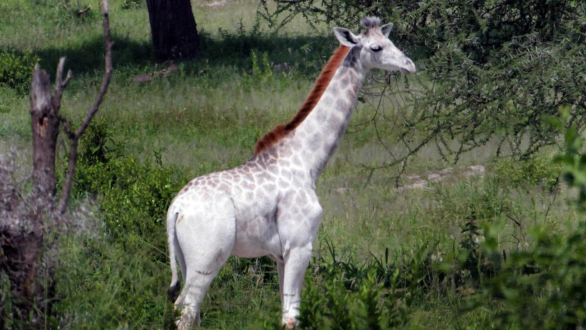 Omo the white giraffe (DEREK LEE/ CATERS NEWS)