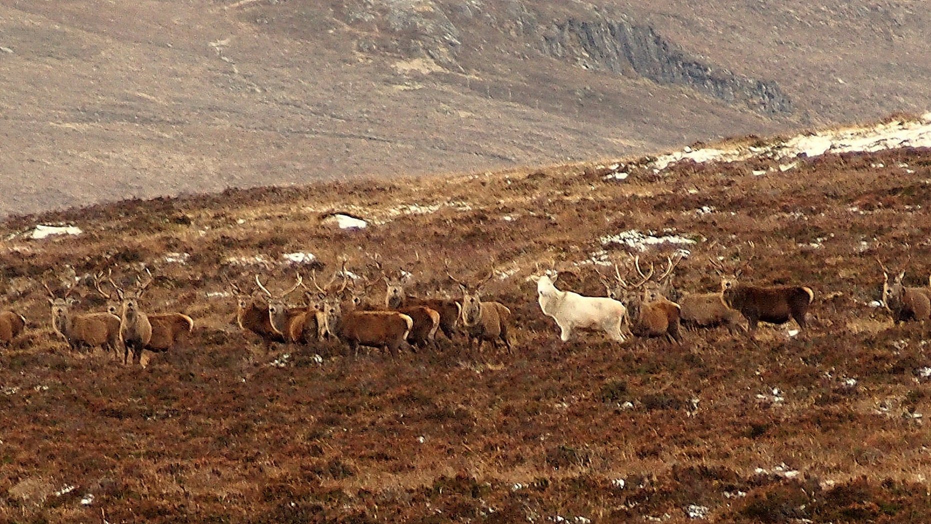 The rare white stag was spotted in the Scottish Highlands