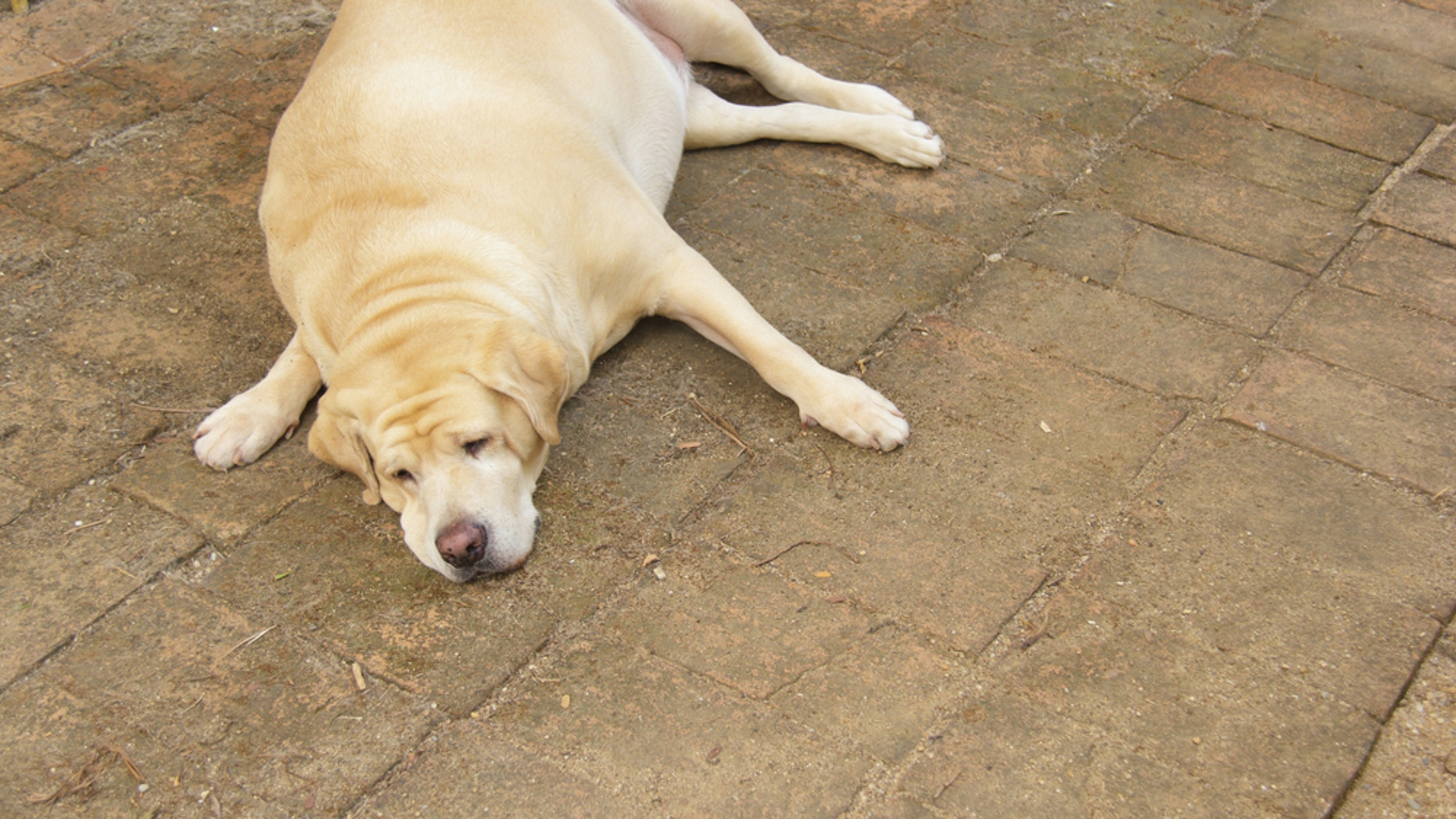 Labrador retrievers may be genetically hard-wired to love food, a new study finds.