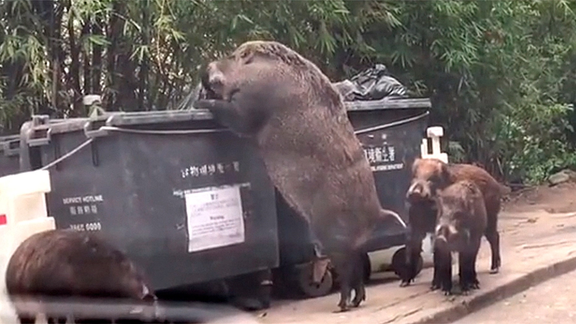 Giant pig caught on camera ravaging dumpster near school ...