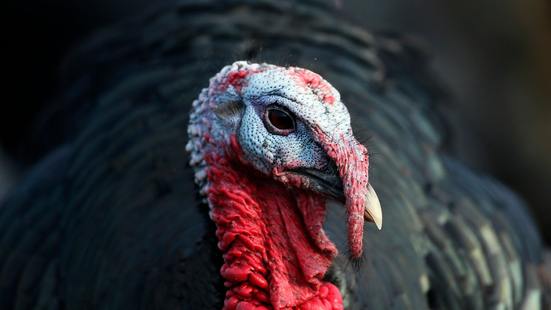A free range Norfolk Black turkey stands in woodland at Church Farm in Ardeley, southern England December 12, 2012. (REUTERS/Stefan Wermuth)