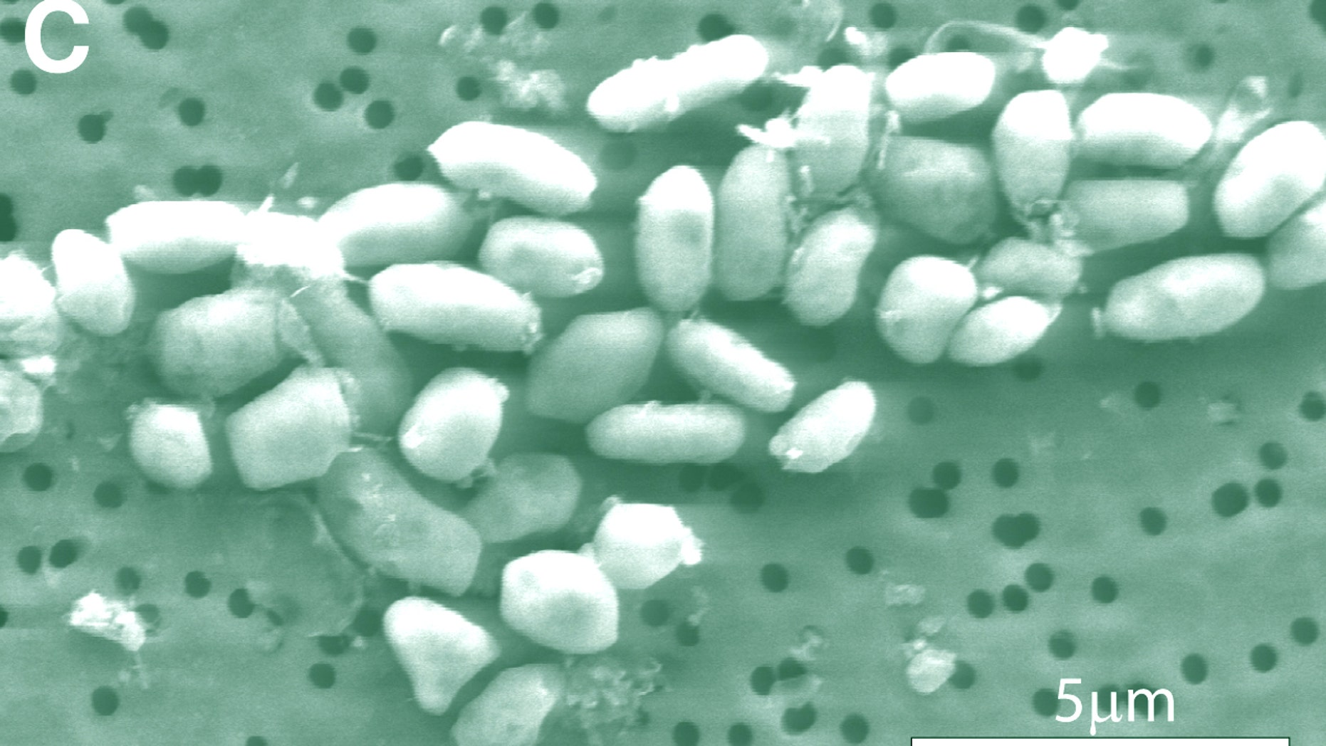 A scanning-electron micrograph image of arsenic-eating bacteria, which NASA says has redefined the quest for life in the universe.