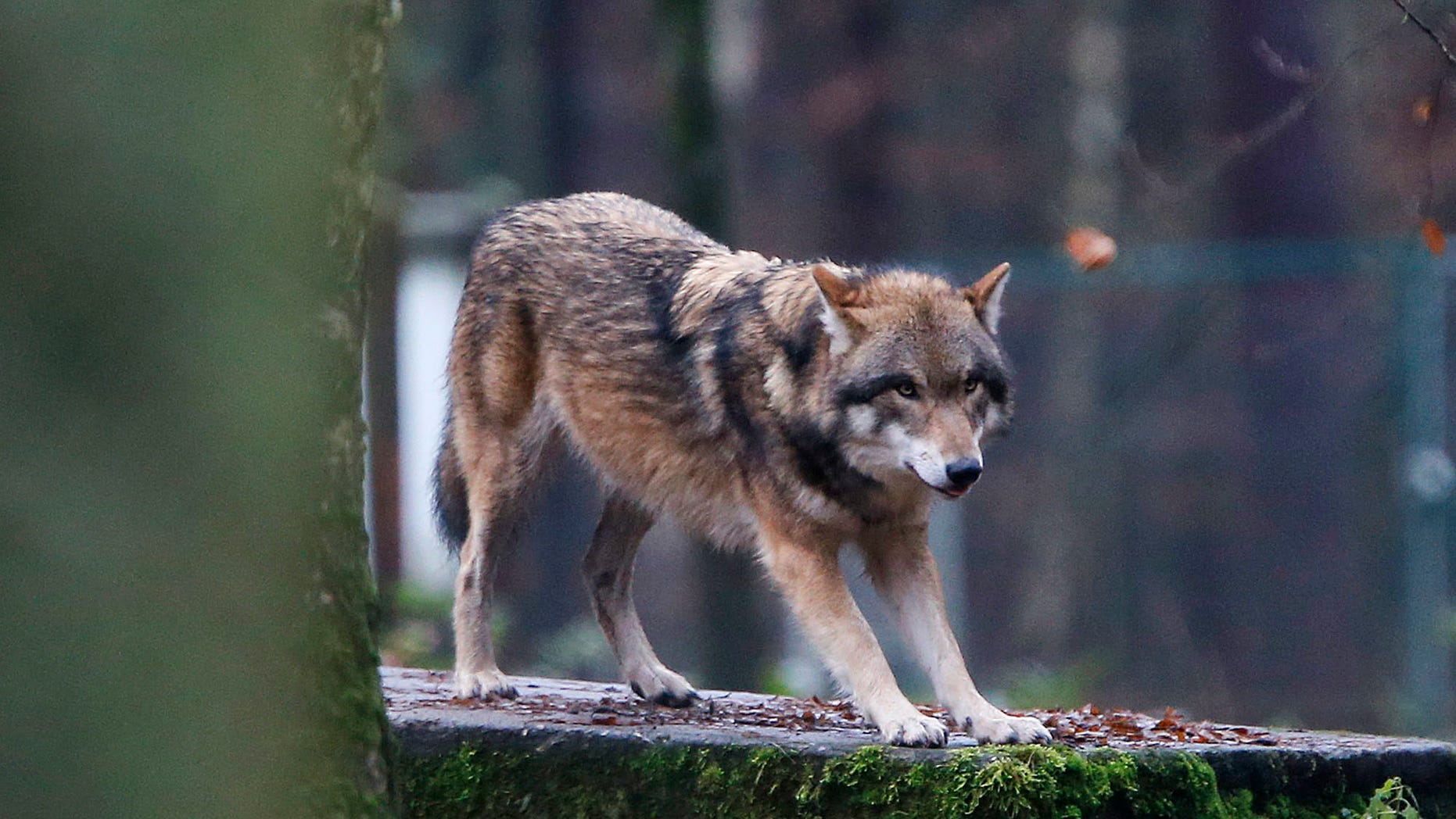 In this photo taken Thursday, Dec. 18, 2014, a European wolf is pictured in a wildlife park in Hanau, Germany. Scientists studying populations of bears, wolves, Eurasian lynx and wolverines found they have flourished on the continent, decades after being driven almost to extinction by hunting and the destruction of their habitat.  (AP Photo/Michael Probst)