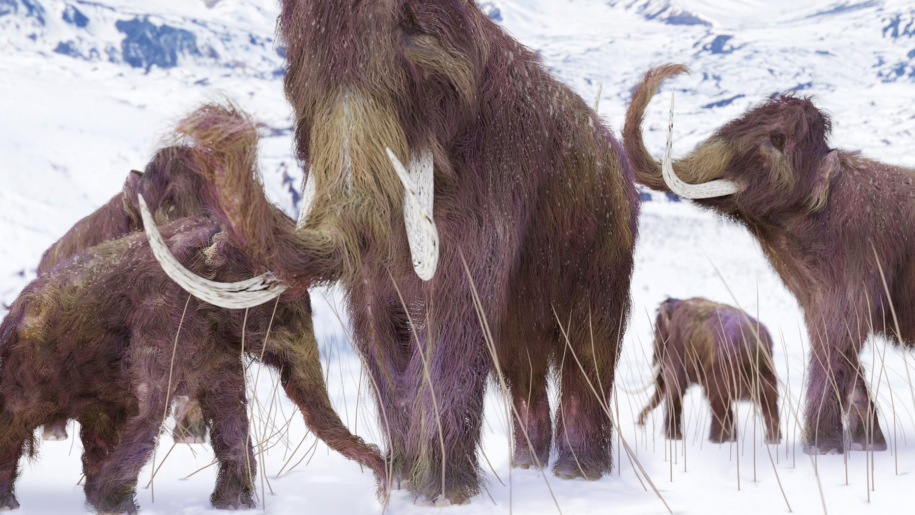 a25688301ad An illustration of a family of Woolly Mammoths grazing on what is left of  the grasses