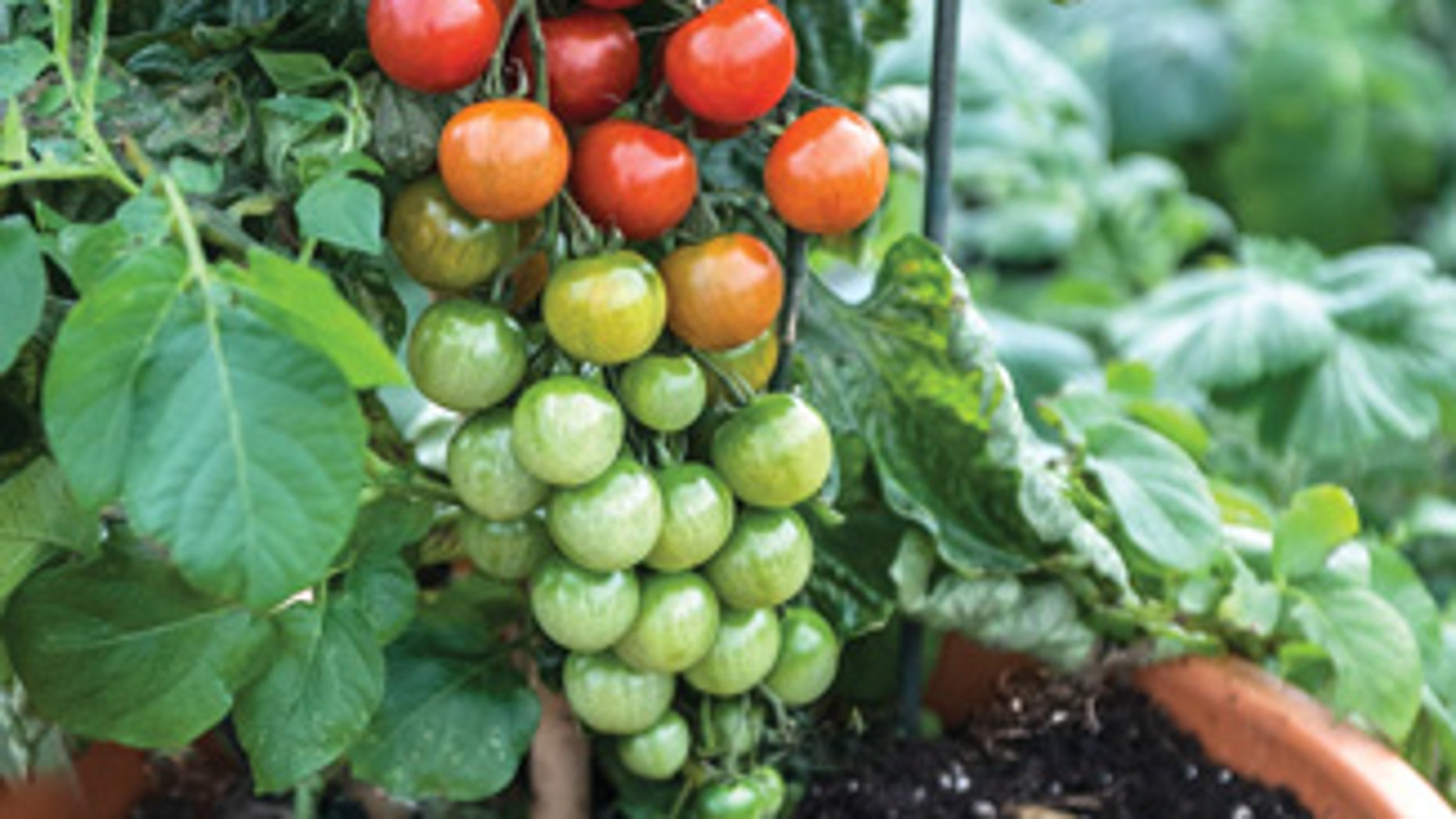 Tomatoes and potatoes can now be harvested from one cool plant.
