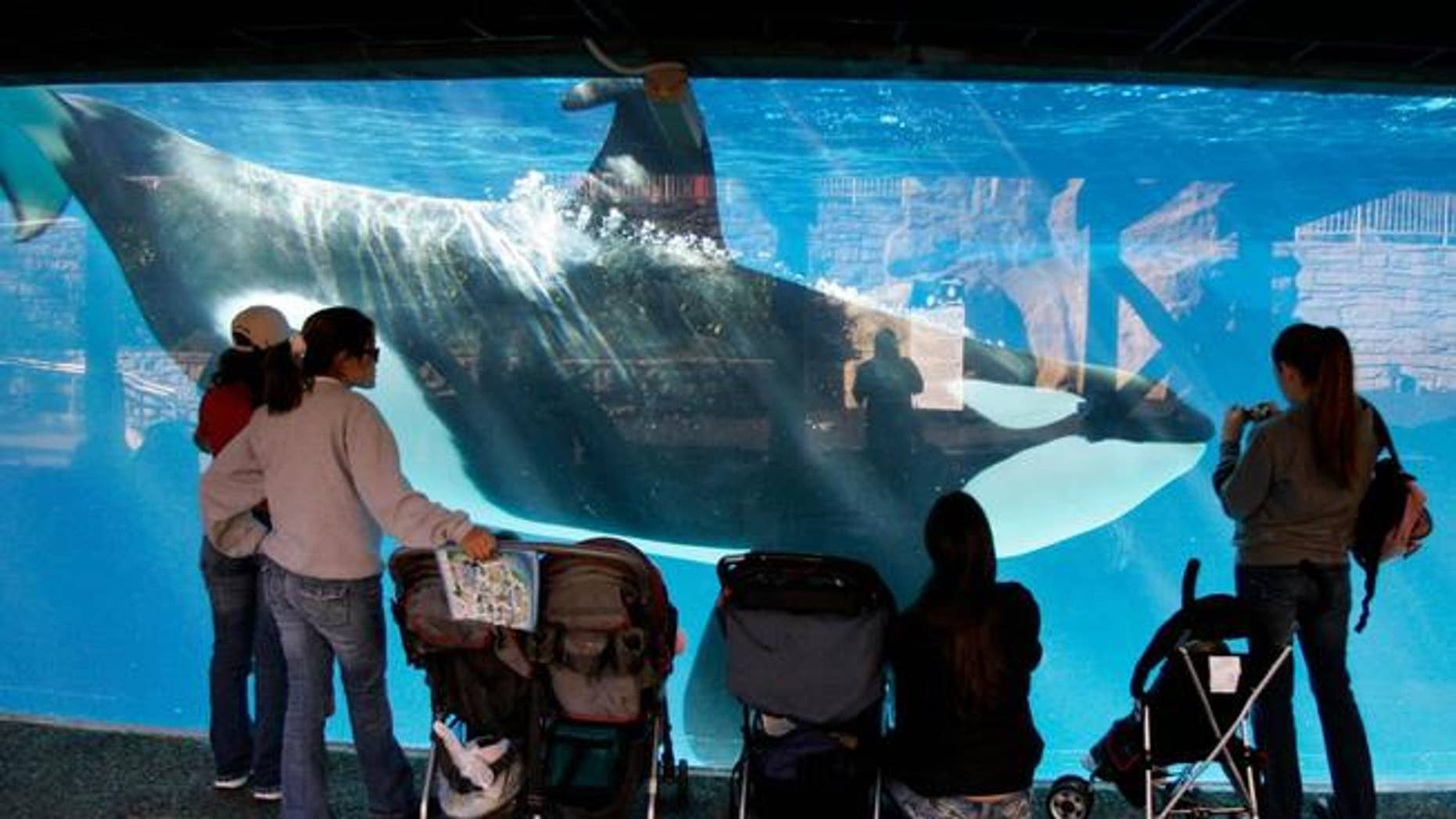 In this file photo from Nov. 2016, park guests watch through glass as a killer whale swims by in a display tank at SeaWorld in San Diego.