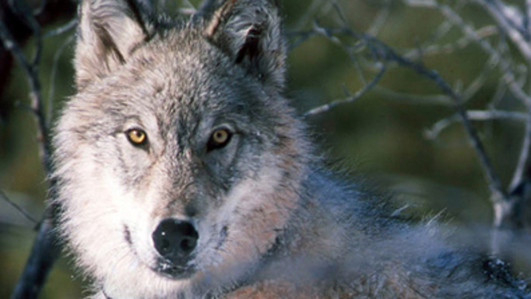 This Jan. 9, 2003 file photo shows a gray wolf watching biologists in Yellowstone National Park in Wyoming, after being captured and fitted with a radio collar.