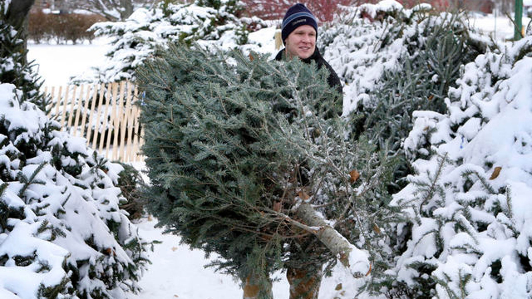 Real Christmas trees, like this one being carried by a man in Maine, are reportedly banned from display this year at the Norton Glen housing complex in Norton, Mass.