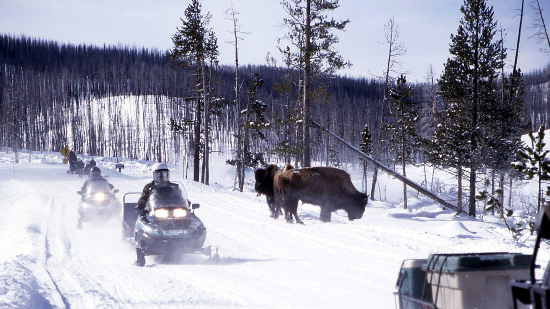 Snowmobiles passing bison near Roaring Mountain in Yellowstone.
