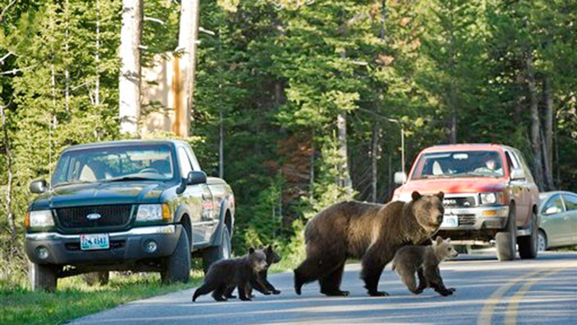 Grizzly bear No. 399 crossing a road in Grand Teton National Park, Wyo., with her three cubs.