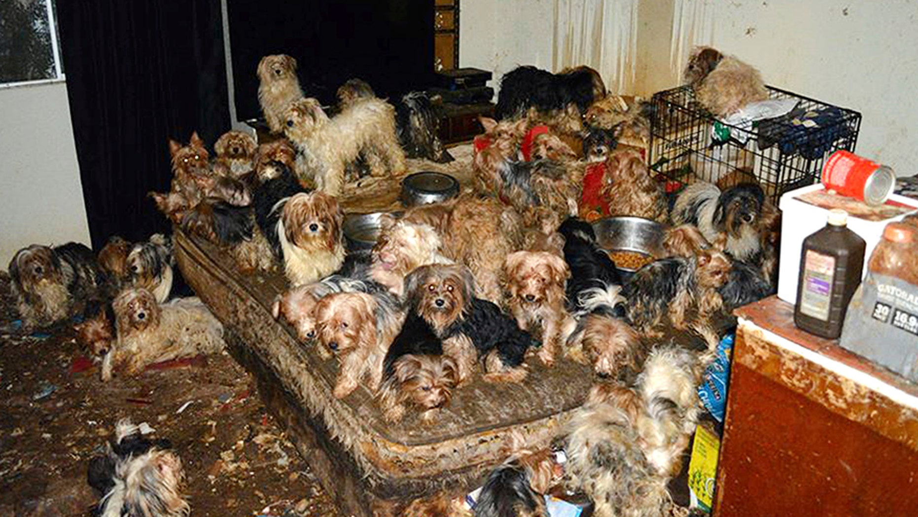This Jan. 20, 2017, photo provided by the San Diego Humane Society shows the scene where Yorkshire terrier and Yorkie mix dogs were discovered in Poway, Calif.