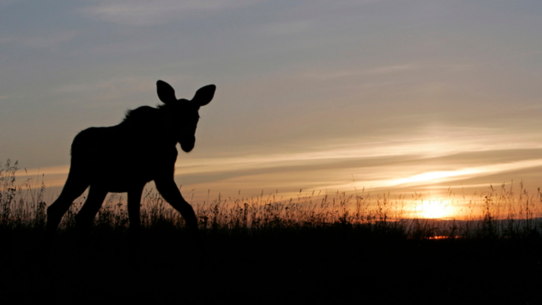 FILE: A four-month-old moose calf walks on a field in a farm north-east of Moscow.
