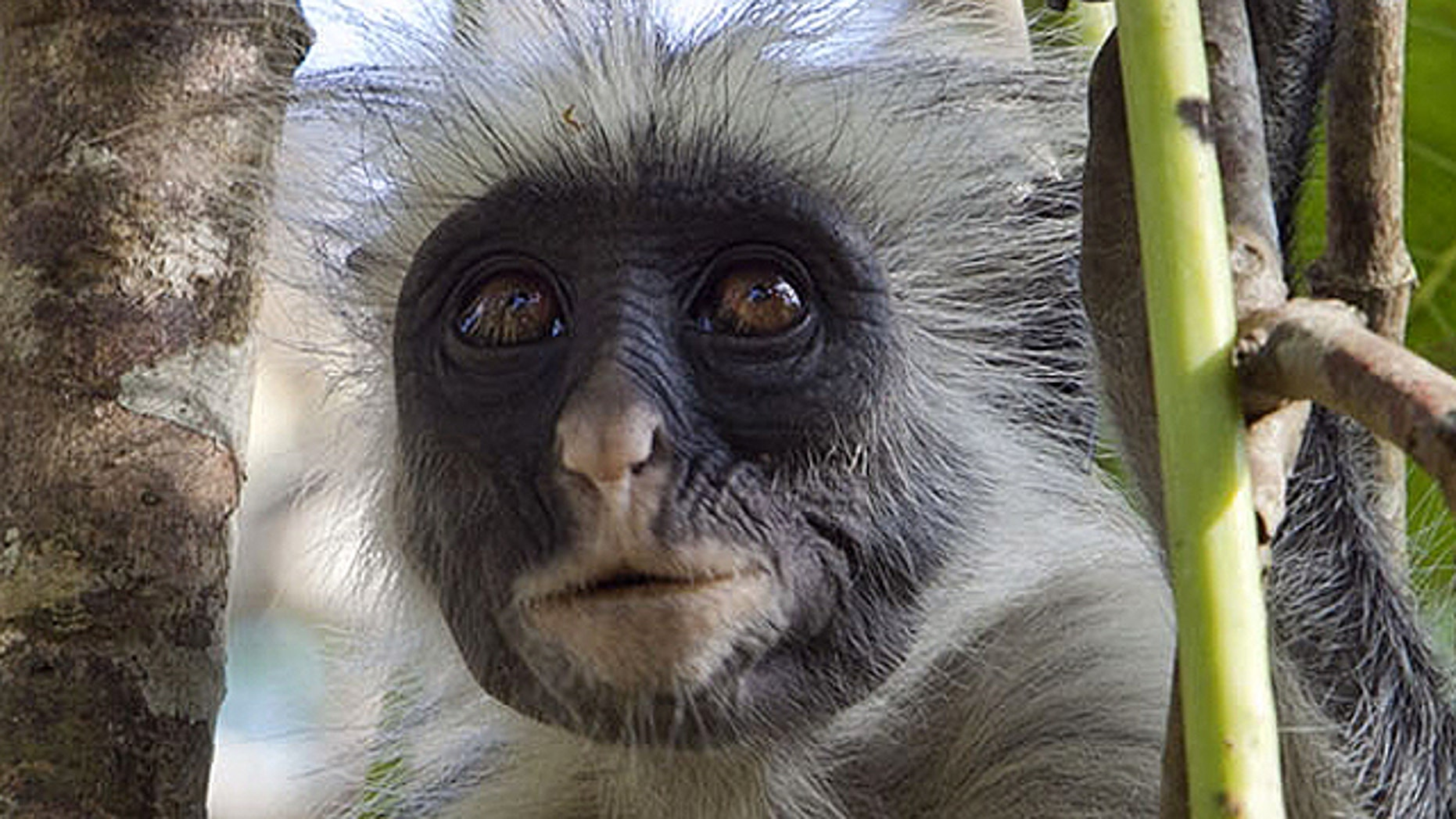 This Oct. 13, 2010 photo shows a rare Zanzibar red colobus monkey as it surveys the landscape while sitting on a tree branch in the East African archipelago of Zanzibar. The leaf-eating primates are popular among tourists flocking to this exotic island.    (AP Photo/Rodrique Ngowi)