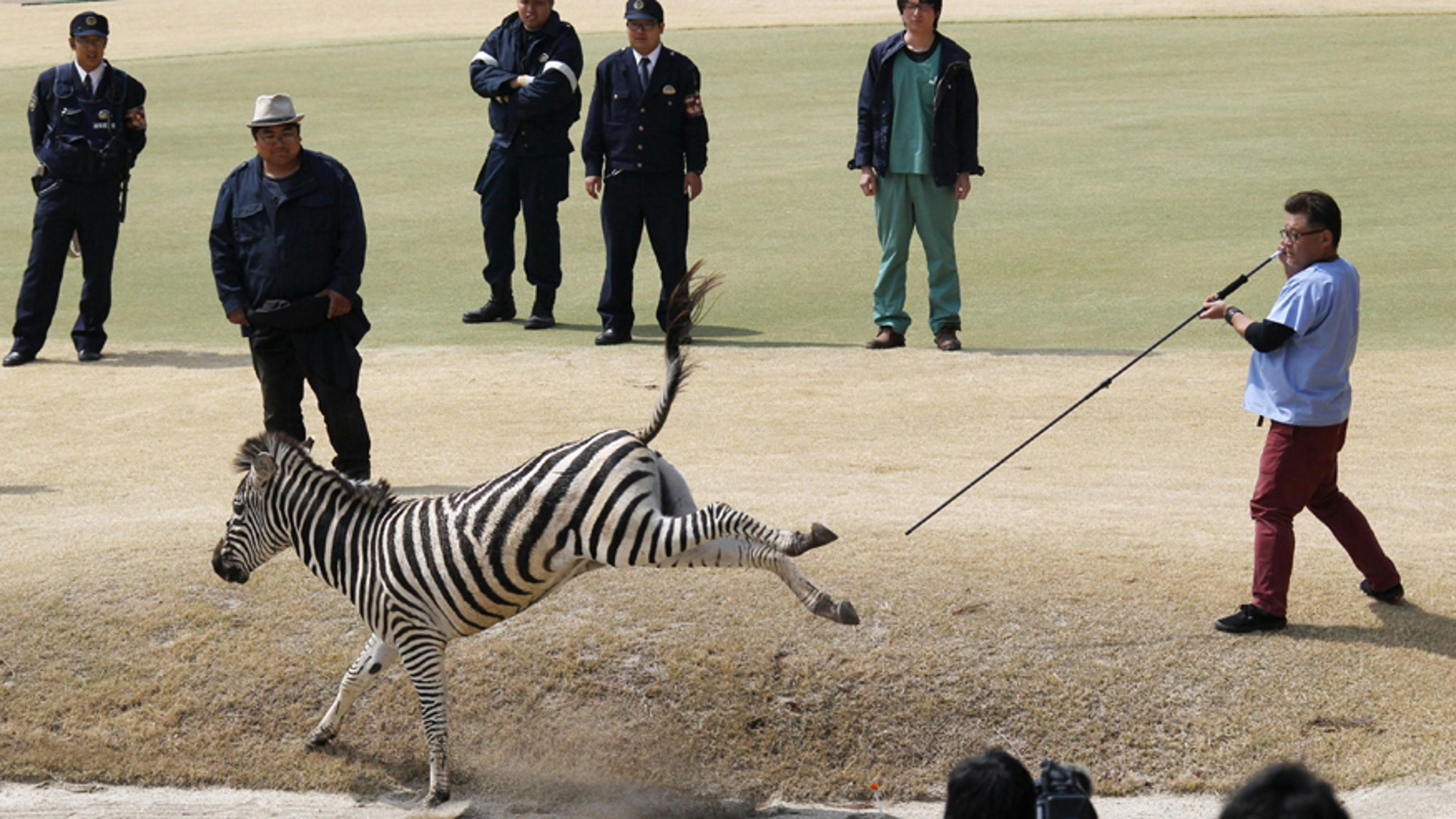 March 23, 2016: An animal doctor uses a tranquilizer dart to capture an zebra on a golf course in Toki, Gifu prefecture, central Japan.