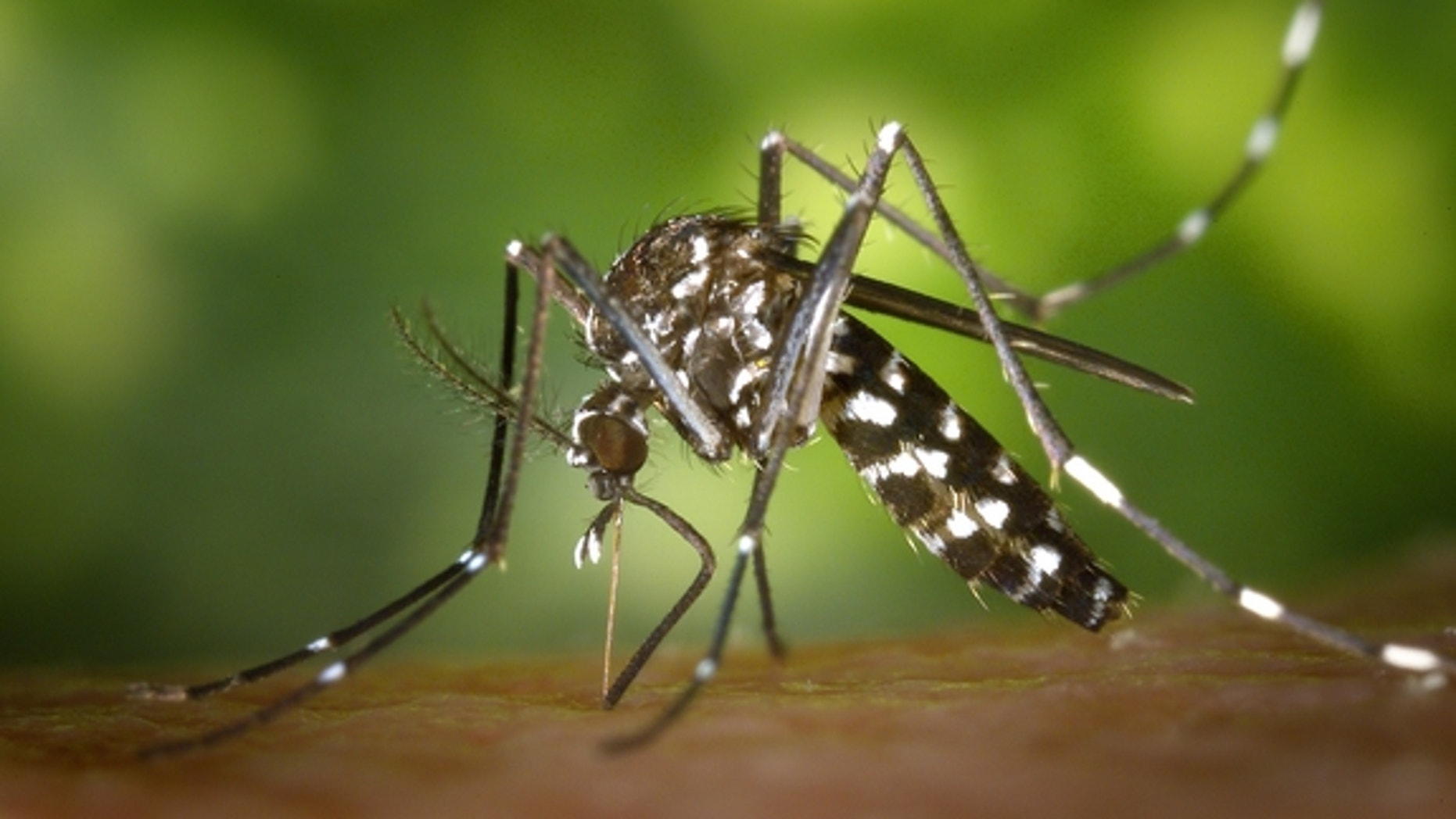 Asian tiger mosquito Aedes albopictus, one of the species that can carry the Zika virus, begins its blood meal.