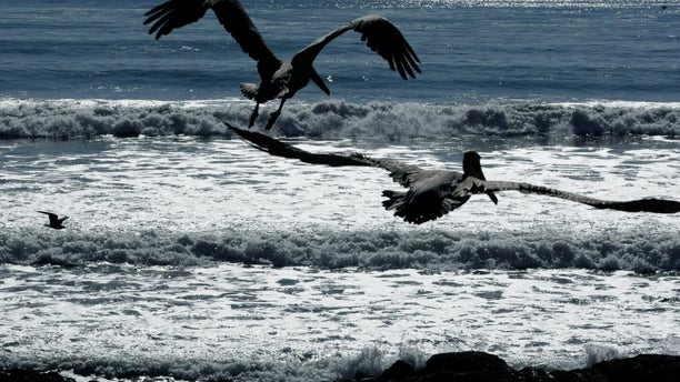 FILE - In this Feb. 10, 2010 file photo, California brown pelicans fly off after being released by the International Bird Rescue Research Center at the beach in San Pedro, Calif. Scientists and conservation groups are worried that the crash in West Coast sardine numbers that has forced cutbacks in commercial fishing is also hurting brown pelicans on the West Coast. The bird just came off the threatened species list four years ago. (AP Photo/Damian Dovarganes)