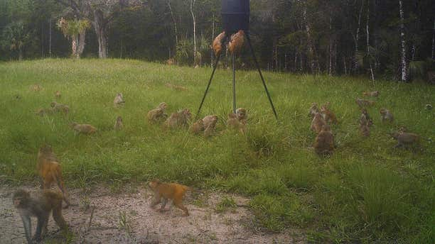 In this July 3, 2017 photo provided by Brian Pritchard, a band of non-native rhesus macaques are seen on Pritchard's property in Ocala, Fla.