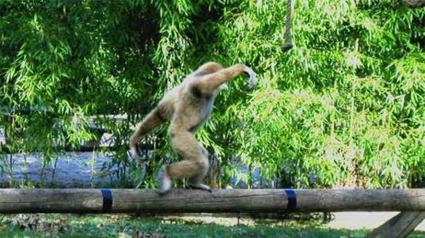 A juvenile white-handed gibbon walks along a pole in the Wild Animal Park Planckendael, Belgium.