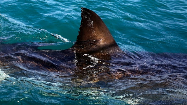 """FILE - In this Thursday, Aug. 11, 2016, file photo, the fin of a great white shark is seen swimming a past research boat in the waters off Gansbaai, South Africa. Olympic champion Michael Phelps lost to a simulated shark in the Discovery Channel's Shark Week special """"Phelps vs. Shark: Great Gold vs. Great White,"""" which aired July 23, 2017. (AP Photo/Schalk van Zuydam, File)"""