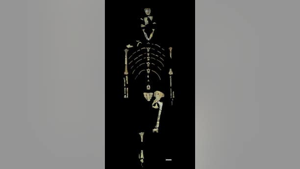 The fossils that make up the Lucy skeleton. (John Kappelman/University of Texas at Austin)