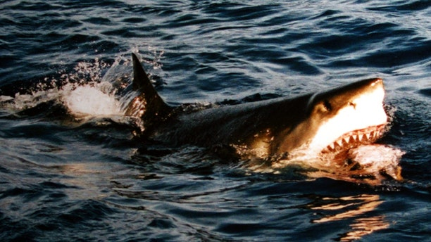 A great white shark is photographed feeding at Isla Guadalupe, Mexico. One of the fierce creatures was just spotted off the Massachusetts coast.
