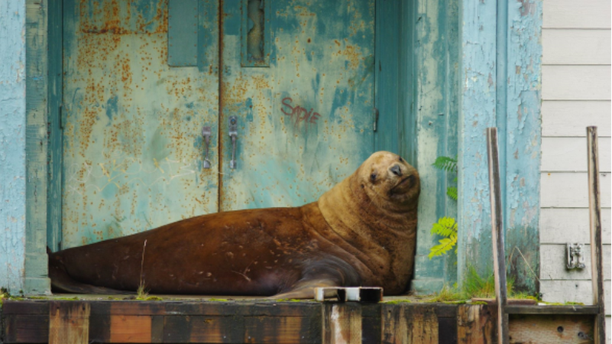 A Steller sea lion in Sitka, Alaska was reportedly rescued by officials on Monday after he spent four days trapped on land, dehydrated and hungry.