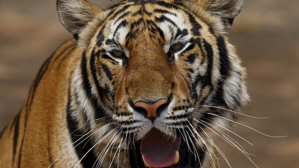 A tiger is seen at the Tiger Temple in Kanchanaburi province, west of Bangkok, Thailand, February 25, 2016. (REUTERS/Chaiwat Subprasom)