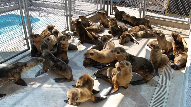 FILE - This undated image provided by the Pacific Marine Mammal Center shows rescued sea lion pups in Laguna Beach, Calif. Federal officials say starving sea lion pups are washing up on Southern California beaches at a rate more than five times higher than the historical average, and scientists are still scrambling to figure out why according to officials, Wednesday, April 17, 2013.(AP Photo/Pacific Marine Mammal Center)