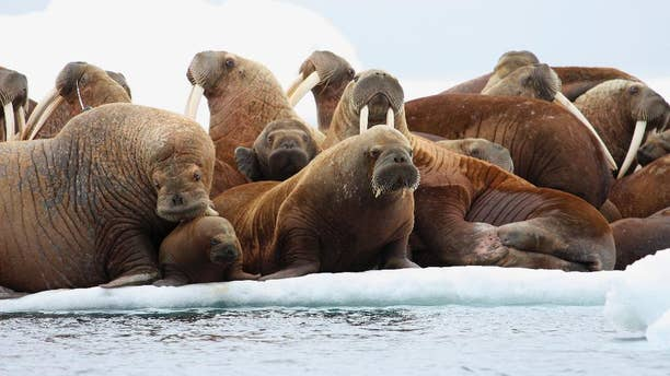 FILE - In this July 17, 2012, file photo, adult female walruses rest on an ice flow with young walruses in the Eastern Chukchi Sea, Alaska. Ten environmental groups Tuesday, June 2, 2015, sued a federal agency over its approval of a plan by Royal Dutch Shell PLC for exploratory petroleum drilling off Alaska's northwest coast. (S.A. Sonsthagen/U.S. Geological Survey via AP, File)
