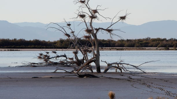 Dec. 27. 2010: In a file photo, a fallen tree supports numerous heron nests in the mud of Southern California's Salton Sea.